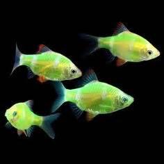 What s your favorite type of GloFish GloFish Tetras