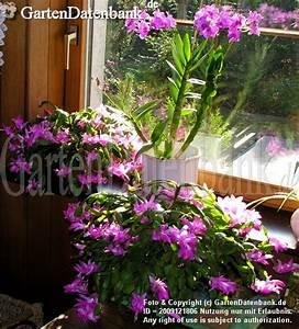 Hortensie Als Zimmerpflanze : bild dendrobium orchideen pflege als zimmerpflanze ~ Lizthompson.info Haus und Dekorationen