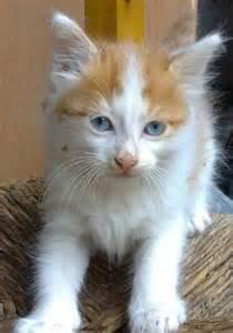 Turkish Van Cat with Blue Eyes