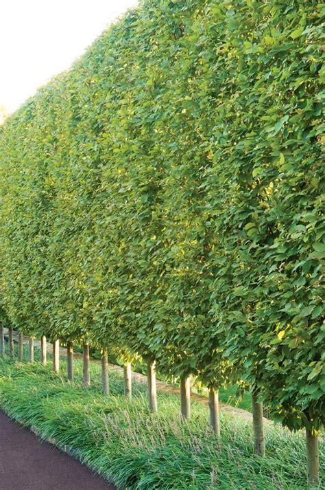 trees for privacy hornbeam hedge garden elements fence screen pinterest gardens tree wall and green trees