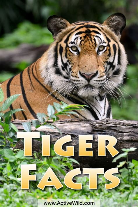 tigers facts  kids adults pictures video  depth