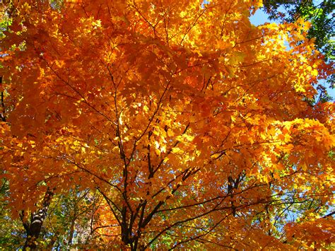 maple tree in the fall file fall orange maple tree west virginia forestwander jpg