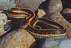 Common Garter Snake · University of Puget Sound