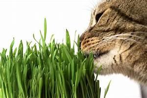 Herbe à Chat : comment utiliser de l 39 herbe chat toutcomment ~ Melissatoandfro.com Idées de Décoration