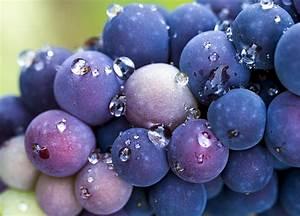 Pinot Noir Grapes Photograph by Jean Noren