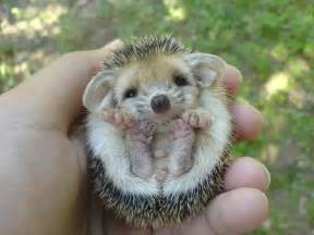 baby hedgehog aww