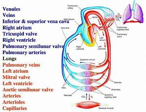 Blood Flow Through Systemic And Pulmonary Circuits