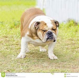 English Bulldog Royalty Free Stock Photo - Image: 34801165