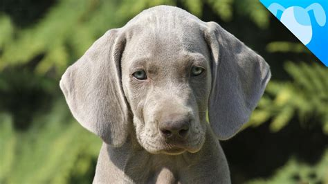dogs that dont shed weimaraner pets discovery