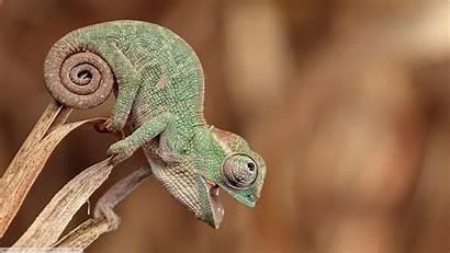 Nature Reptile Closeup Animals Wallpapers Desktop Chameleons