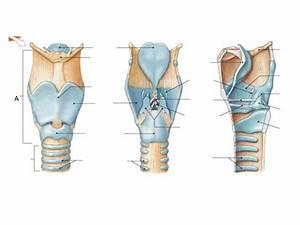 Respiratory Larynx Diagram At University Of Cincinnati