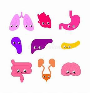 Cartoon Illustration Of Human Internal Kidney Anatomy