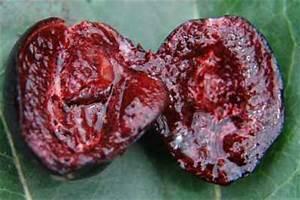 Buah Renda (Kerendang), Carissa carandas L. (Apocynaceae ...