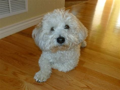 i love my woodle wheaten terrier poodle mix best dog