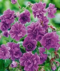 Winterharte Blumen Für Den Garten : winterharte geranie blaue birch double von baldur garten auf kaufen ~ Whattoseeinmadrid.com Haus und Dekorationen
