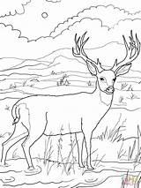 Coloring Deer Mule Printable Popular sketch template