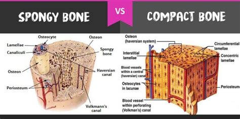 Compact Bones vs. Spongy Bones: What is The Difference ...