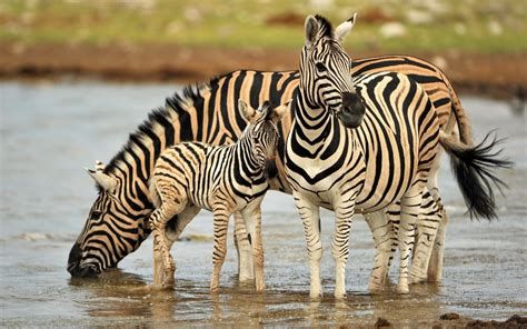 Most Cute And Dashing Zebra Wallpapers In HD - Wallpapers