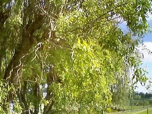 Taille Du Saule Pleureur : saule pleureur tortueux ~ Melissatoandfro.com Idées de Décoration