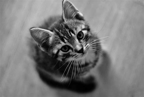 Wallpaper Cat by Black And White Cat Wallpapers Wallpaper Cave