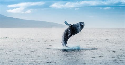 stunning video depicts  ton whale jumping