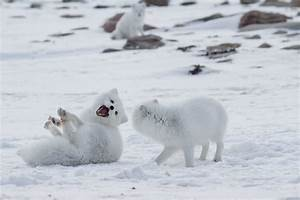 10 Fun Facts About The Arctic Fox