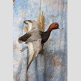 Drake Mallard Duck | 800 x 1200 jpeg 89kB