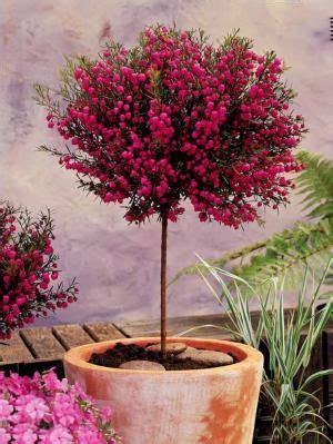 les 25 meilleures id 233 es concernant arbuste en pot sur plantes 224 feuillage arbuste a