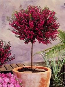 Arbuste Fleuri En Pot : les 25 meilleures id es concernant arbuste en pot sur ~ Premium-room.com Idées de Décoration