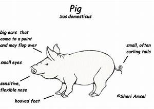 pig exploring nature educational resource With diagram of a pig