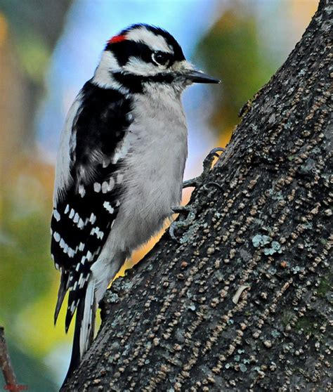woodpeckers of florida phillip s natural world