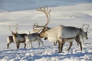 Nom Des Rennes Du Pere Noel : r chauffement climatique les rennes du p re no l la di te ~ Medecine-chirurgie-esthetiques.com Avis de Voitures