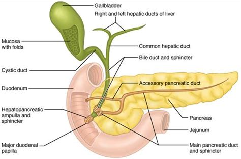 Magnificent Pancreas Divisum Anatomy Image - Anatomy And Physiology ...