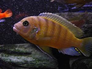 cichlids.com: mbuna