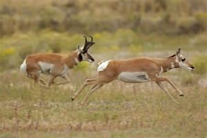 The gallery for --> Pronghorn Antelope Running