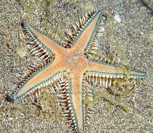 The Echinoblog  Starfish Guide For The Philippines  How