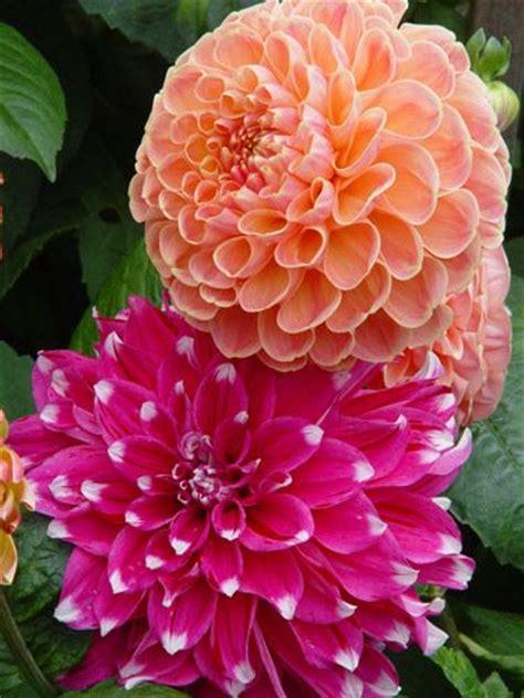 613 Best Images About Delightful Dahlias On Pinterest
