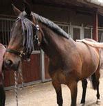 lymphdrainage fuer pferde pferde weltinfo