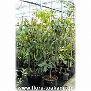 Avocado Baum Pflege : persea americana avocado pflanze flora toskana ~ Orissabook.com Haus und Dekorationen
