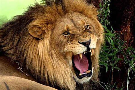roaring lion joy digital