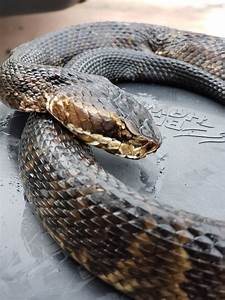 Cottonmouth  A K A Water Moccasin  Outside Front Door Of