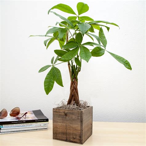 wooden plants send plant gifts that grow for good luck housewarming gifts giving plants blog potted plant