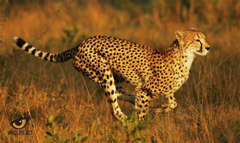 cheetah pic impre media