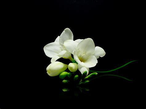 fresia bloemen s freesia