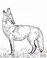 Coyote Coloring Pages Baby Howling Printable Drawing Tattoo sketch template