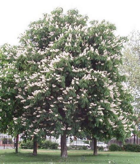 large flowering trees large flowering trees blablapartner com