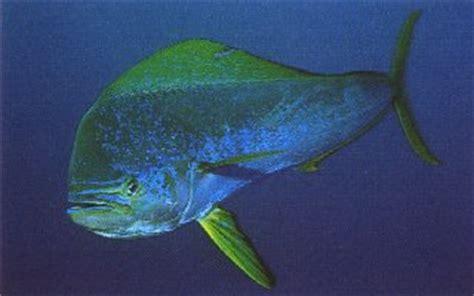 biogeography   dolphinfish