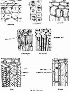 Top 7 Functions Of Plant Tissues  With Diagram