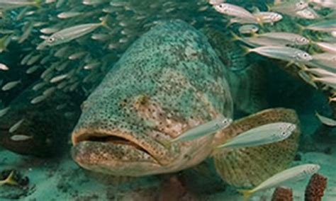 grouper goliath ecology
