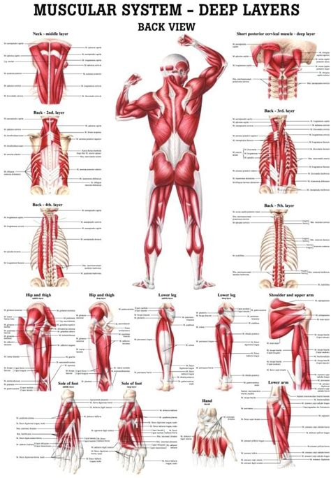 There are around 650 skeletal muscles within the typical human body. Muscle Chart Back : Muscles German Names Chart Muscular ...